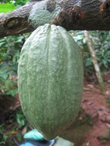 какао плод